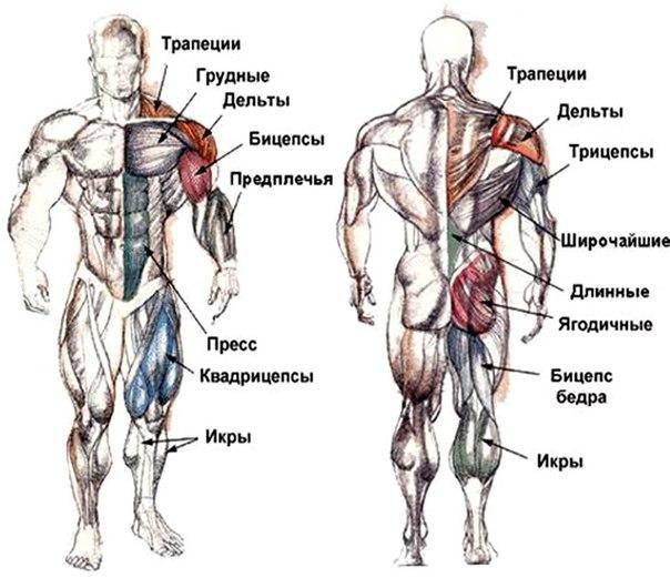 2. Строение скелетных мышц